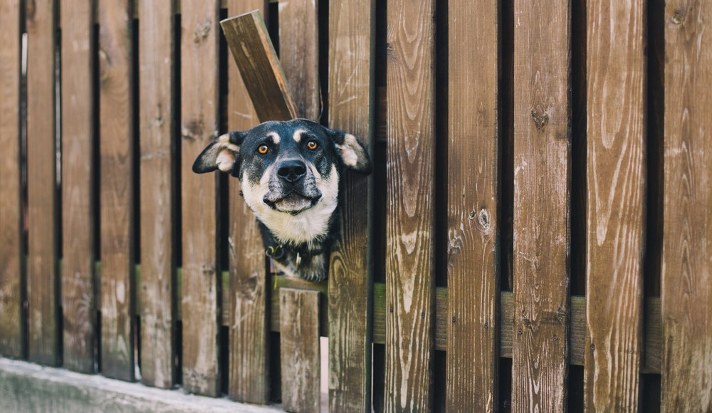 dog poking its head through a hole in a fence